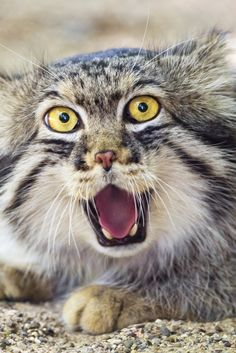 OMG! So insanely cute... Why The Pallas' Cat Should Become Your New Favorite Animal