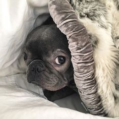 I'm only coming out if it's the weekend... #tgif #hiding #thatface #love #puppydog #igdogs #dogs #bluefrenchie #cutiepie #itsadogslife #dog #frenchies #instadog #bully #instafrenchie #igfrenchies #frenchbulldog #frenchielovers #bulldoglove #frenchbulldog #frenchielove #lovemydog #frenchiegrams #frenchiesofinstagram #bulldog #animals #dogsofinstagram #bluebullydogs #frenchie #frenchbulldog #bluefrenchbulldog @frenchie_bulldog #frenchbulldogsofinstagram @_happy.dogs_ @frenchiemania…