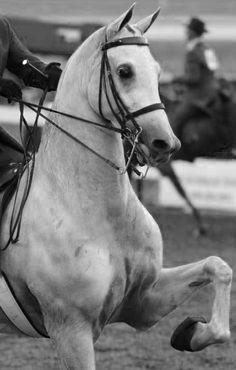 49 Best Gaited Horses images in 2016 | American Saddlebred