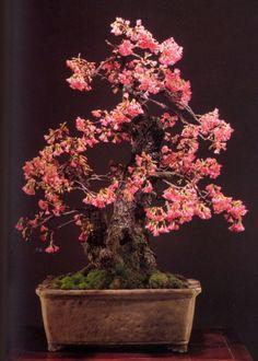 Hikan zakura – 82 anos – 120 cm