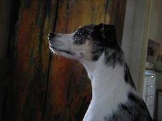 australian cattle dog italian greyhound mix