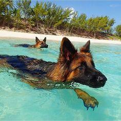 Omg look at these beautiful long hair German shepherd babies swimming in the ocean!!