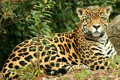 Panthera Onca Jaguar en Mnau