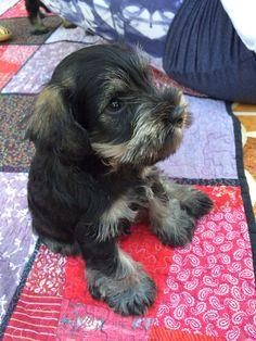 Miniature Schnauzer, baby Rocco