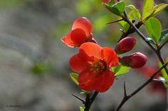 Japanse sierkwee