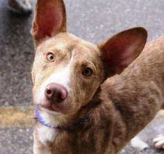 Adopt George, a lovely 1 year  2 months Dog available for adoption at Petango.com.  George is a Ibizan Hound / Mix and is available at the Ashtabula County Animal Protective League in ASHTABULA, OH