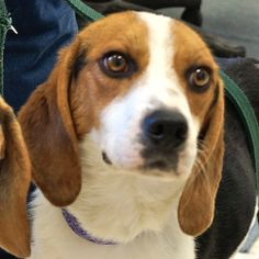BO is a 4 year old neutered male tricolor Beagle, 29 lbs. He was found in the Town of Root on February 15, 2014. He has a sweet expression with soulful eyes.