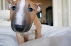 Tusker. Our new Miniature Bull Terrier. Nothing cuter than a Mini Bull Terrier puppy.