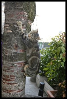 This tabby cat climbing up a tree  is the most well-known cat in Paris. Curious to know why? You can read it here: http://www.traveling-cats.com/2017/03/cat-from-paris-france.html (tabby cat, cat climbing up a tree, cat on a tree, well-known cat, Paris, curious cat, climbing cat)