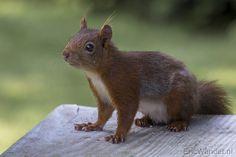 Dit eekhoorntje is in de rui! Fotograaf: Cameraatje