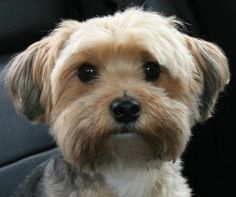 Learn all about the Maltese Yorkie mix or Morkie. Find out what real owners of Morkie dogs have to say and view adorable Morkie pictures. Havanese Haircuts, Havanese Grooming, Dog Haircuts, Dog Grooming, Dog Hairstyles, Yorkies, Havanese Puppies, Terrier Puppies, Maltipoo