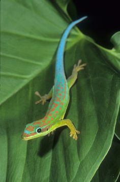 Blue tailed day gecko in Madagascar
