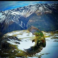 Our company mascot is the Native Kea bird. Here is a great picture of this beautiful bird in flight! #kea #newzealand #glenorchyair #flight #mountainparrot #parrot #bird #queenstown #snow #scenery