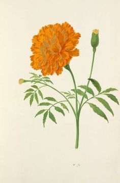 Watercolour on paper of Tagetes (marigold) from an album titled 'Flores a Petro Holsteyn ad vivum depicti' by the artist Pieter Holsteyn. Marigold Tattoo, Marigold Flower, Botanical Flowers, Botanical Prints, Tree Branch Tattoo, Mexican Flowers, Beste Tattoo, Botanical Drawings, Gardens