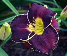 'Duck's Dark Side' (Eller 08) purple yellow green lime lily