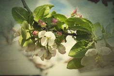 Apple blossom by Alejandro Fhn