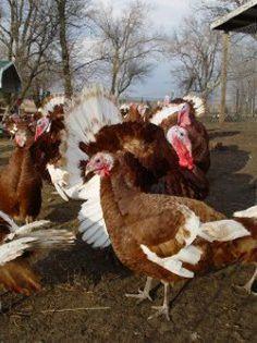 Pastured Heritage Turkeys