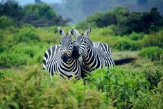 20 Best African Wildlife Photos -Africa is the place where you can find thousands of wildlife. That is why it is not a hard thing to find that Africa became the Wild Animals Pictures, Animal Pictures, Animal Species, Wildlife, Creatures, African, Stripes, Nature Animals, Pets