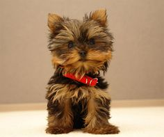 yorkshire_terrier_cachorro