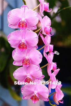 Hot Sale!!! 100pcs 22 colors Rare Cymbidium orchid, African Cymbidiums seeds