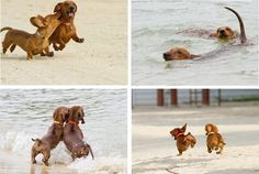 {frolicking beach doxies!}
