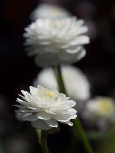 Duppsoleie er en yndig staude med fylte små hvite blomster på stive stilker. Superherdig!