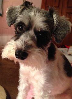 parti-colored mini schnauzer Daisy Annabelle (5 yrs old)