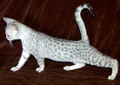 Wildtrax Silver Egyptian Mau Kitten