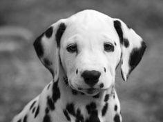 hund   Dalmatiner Bilder: Hund mit schönen schwarzen Punkten - Seite 1