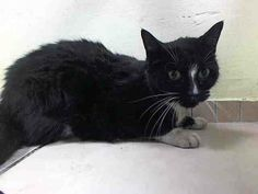 SAFE! TO BE DESTROYED 5/1/14 * Brooklyn Center  My name is MAGADLINE. My Animal ID # is A0997090. I am a female black and white domestic sh mix. The shelter thinks I am about 8 YEARS old. Allows petting, remained soft and relaxed in the back of cage.  https://www.facebook.com/nycurgentcats/photos/a.783020021715987.1073742288.220724831278845/783020085049314/?type=3&theater