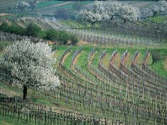 Austria | Burgenland | vineyard and cherry blossom Vienna Woods, Native American Proverb, Visit Austria, Central Europe, Salzburg, Planet Earth, Alps, Cherry Blossom, Places Ive Been