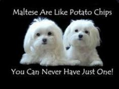 That's why I have two Maltese/Yorkies!