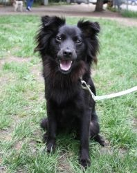 Swizzle is an adoptable Pomeranian Dog in Northbrook, IL. Swizzle is a very sweet girl and as cute as can be. She is 10 month old Pomeranian/Schipperke mix and weighs 18 pounds. She came to Heartland ...