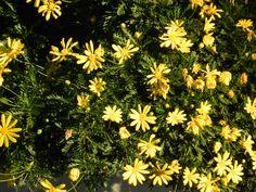 Common Daisy, Seabright Area, Santa Cruz [cultivated]