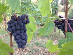 Sangiovese on 7th September 2012