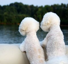 Miss my bichon Poodle, Cute Puppies, Dogs And Puppies, Fluffy Puppies, Doggies, Animals And Pets, Cute Animals, Baby Animals, Bichon Dog