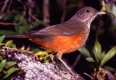 Sabiá-laranjeira, ave símbolo do Brasil