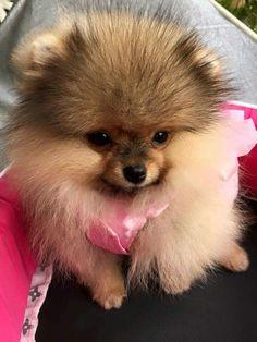 Cool Pomeranian Brown Adorable Dog - 7cb040348f6f7cbfb3a5dbe873520da8--pomeranian-dogs-pomeranians  Graphic_53179  .jpg