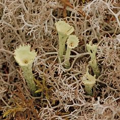 crowned pixie cups and reindeer lichen - I love reindeer moss (as I've heard it called before)