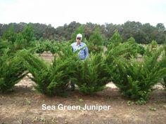 juniper sea green - Google Search Texas Landscaping, Landscaping Ideas, Garden Landscaping, Juniper Shrub, High Country Gardens, Farm 2, Plant Zones, Evergreen Shrubs, Backyard Fences