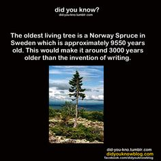 World's oldest tree is older than all of written human history The More You Know, How To Know, Did You Know, Wtf Fun Facts, Crazy Facts, Random Facts, Random Stuff, Tree Story, Different Quotes