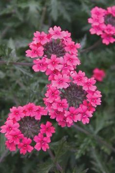 Verbena is a great plants for hot spots. It comes in so many colors. Looks really great in pots with other plants.