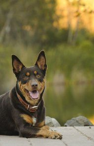 Australian Kelpie dog breed information including pictures, training, behavior, and care of Australian Kelpies. Australian Shepherds, West Highland Terrier, Scottish Terrier, Rottweiler, I Love Dogs, Puppy Love, Doggies, Dogs And Puppies, Husky