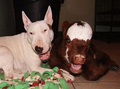 This Mini Cow Saved From Auction House Now Lives With 12 Dogs, Thinks She Is One Of Them   Bored Panda