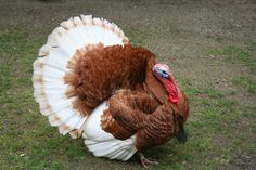 This is not my turkey. This picture is to give you an idea of how a full grown male will look. I hope Turkey Lurkey gets that big!