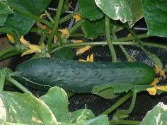 25 Best Types of Cucumber | Best Cucumber Varieties