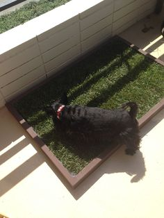 Franklin starting using his large indoor dog potty and dog potty grass area… Indoor Dog Potty, Dog Litter Box, Puppy Potty Training Tips, Real Dog, The Perfect Dog, Animal Projects, Large Dogs, Dog Owners, Dog Mom
