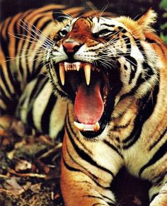 Gotta love the tiger. It is one beautiful and fierce cat!