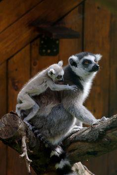 Ring-tailed lemur, family
