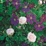 By pairing vines, stunning aerial liaisons can be arranged. We especially like deep purple Clematis 'Etoile Violette' with the blush pink, double-flowered Climbing Rose 'New Dawn'.